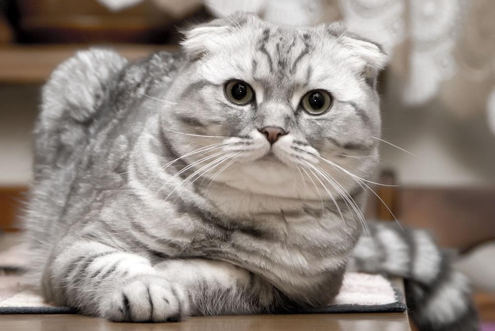 Шотландская вислоухая кошка - фото
