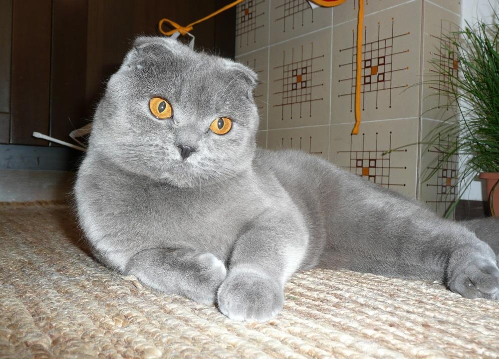 Шотландская вислоухая кошка - фото и описание