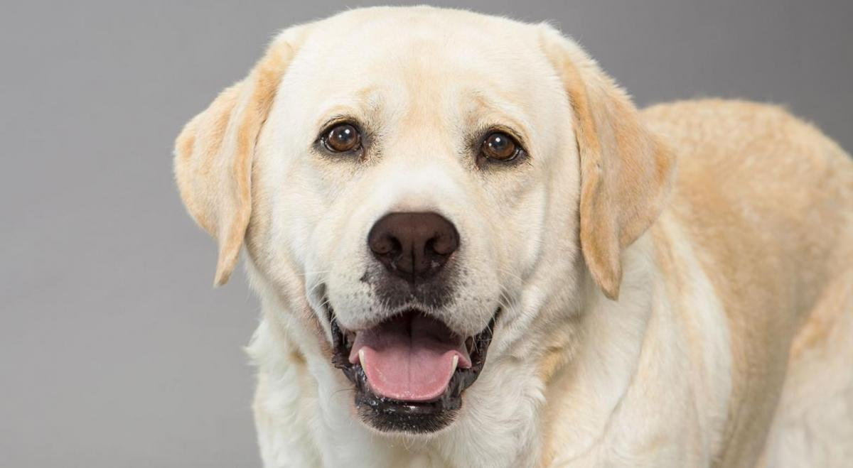 a look at the dog breed labradors A website dedicated to labrador retriever dogs - the greatest dog breed known to man.