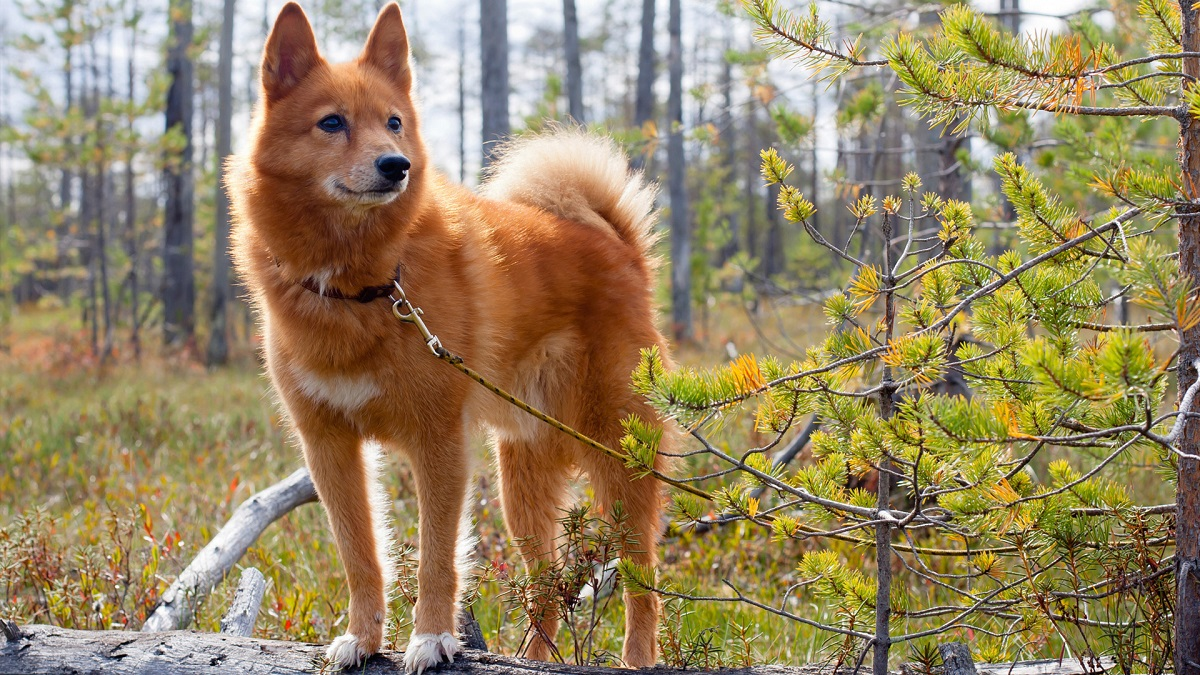 Собакаволк  как называется порода