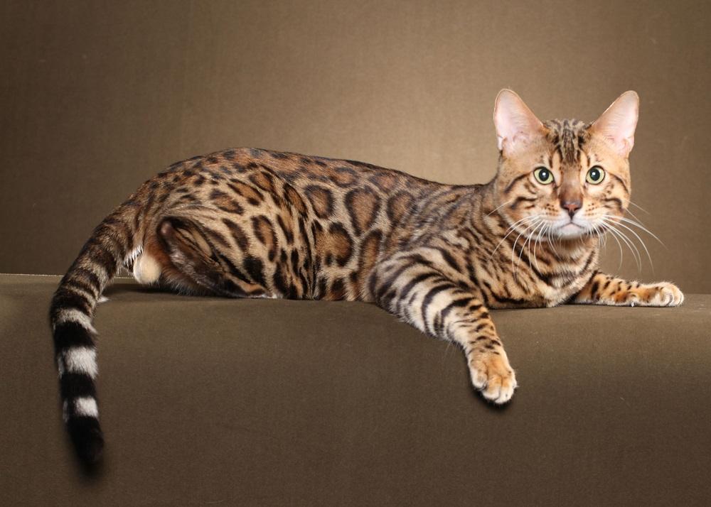 кошка бенгальская кошка фото