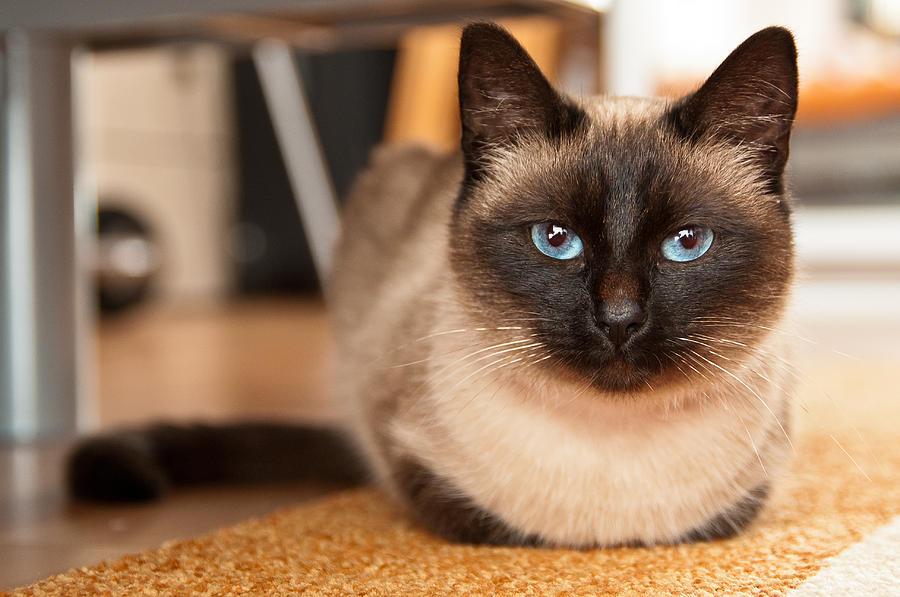 сиамская фото кошка