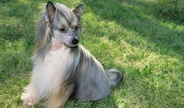 Китайская хохлатая собака - описание, характер и фото породы