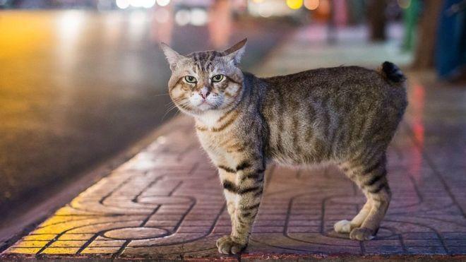 кошки фото кимрик