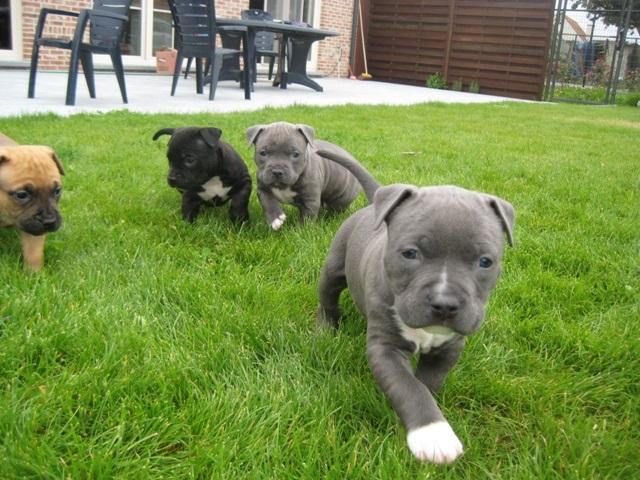 фото собака питбуль щенки