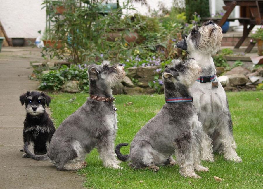 Дисплазия тазобедренных суставов собак породы цвергшнауцер купить для суставов labrada