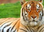 Кошки как тигры - породы и фото