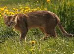 самые большие домашкие и гибридные (смешанные) кошки