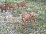 Фараонова собака - фото