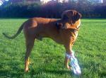 Первая помощь при ране подушечек лап у собак