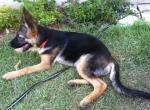 Фото щенка немецкой овчарки в 3 месяца