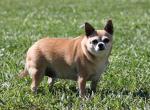 Избыточный вес и ожирение у собак