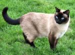 Сиамская кошка - окрас сил-поинт