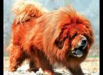 Красный Тибетский мастиф