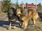 Тибетский мастиф - две взрослые собаки