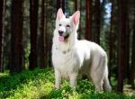 описание - Белая швейцарская овчарка