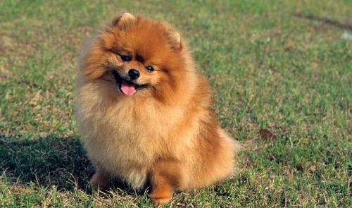 Пушистая собака - померанский шпиц