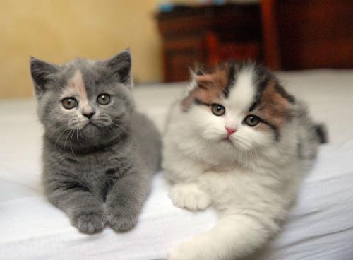 Имена для британских кошек и котят девочек