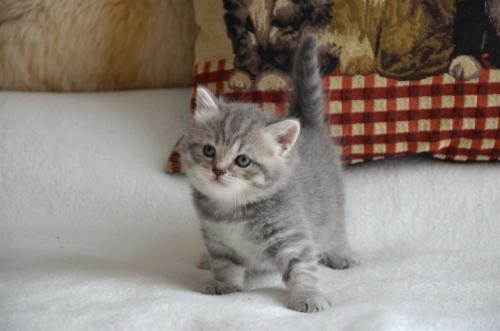 Клички котам породы шотландский