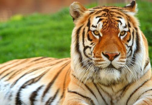 Тигр - кошка
