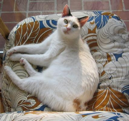Кошки с коротким хвостом