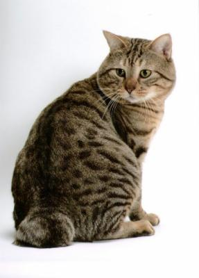 Что за порода котов с коротким хвостом