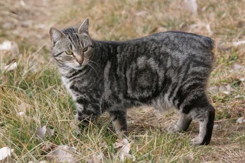Фото кошки без хвоста