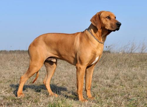 Нелающие породы собак