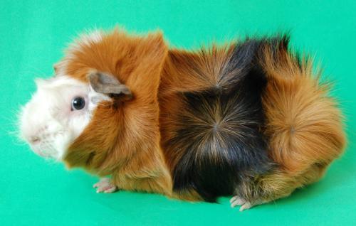 Популярные породы морских свинок