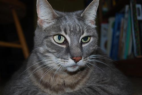 Анизокория у кошек