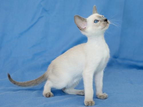 Сиамская кошка - окрас блю-поинт