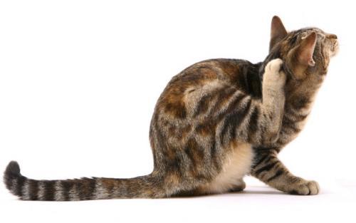 Как вывести блох у кошки в домашних условиях, в квартире
