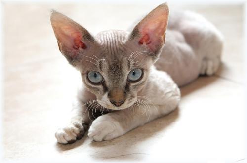 Маленькие коты породы название