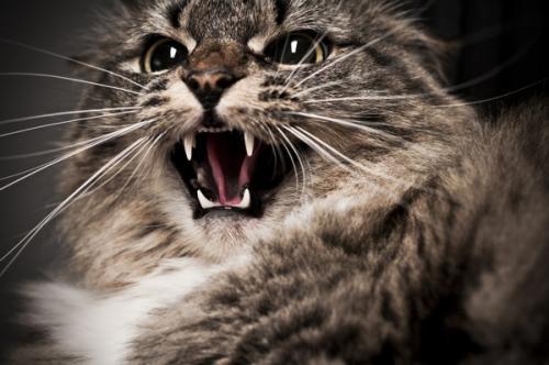 Укус кошки - симптомы инфицирования, лечение