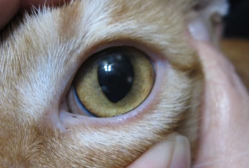 Язва роговицы у кошек - сиптомы и лечение
