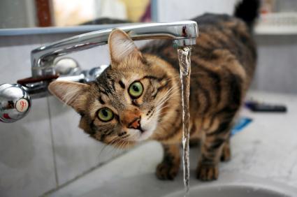 Обезвоживание у кошек - симптомы, причины и лечение