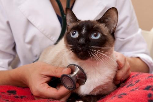 Высокая температура и лихорадка у кошки