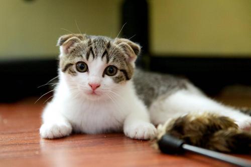 Шотландская вислоухая кошка - характер породы