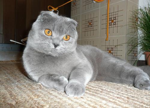 Фото шотландская вислоухая кошка
