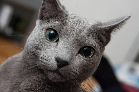 Гипоаллергенные кошки - лучшие породы для аллергиков