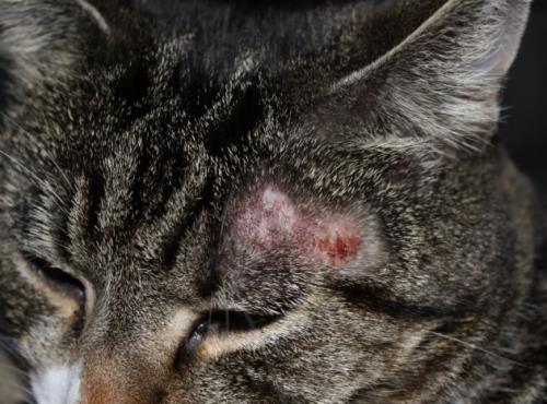 Лишай у кота на ушей