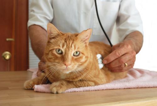 Панкреатит у кошек - симптомы, причины и лечение