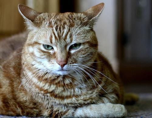 Диарея у кошек. Что делать при поносе?