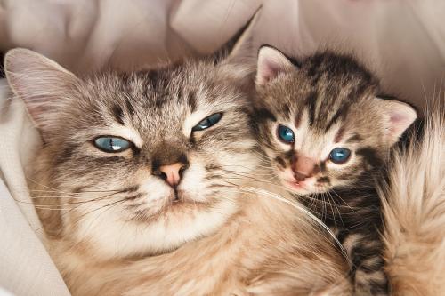 Сколько кошка вынашивает котят