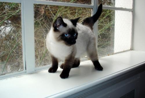 Фото и цена сиамской кошки