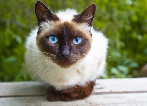 Сиамские коты характеристика породы