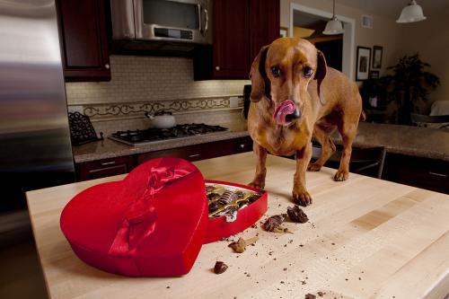 Вещества и предметы, которые ядовиты для собак