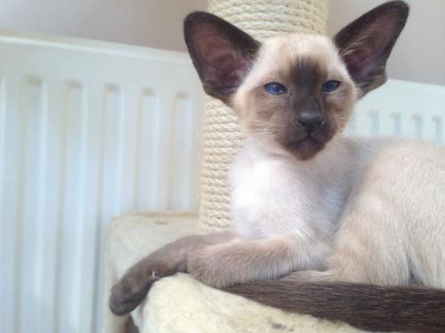 Сиамская кошка - окрас шоколадный