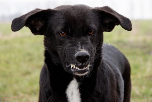 Агрессия у собак - как бороться и обеспечить безопасность?