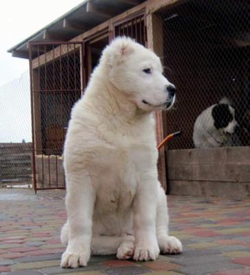 Фото собаки туркменский алабай